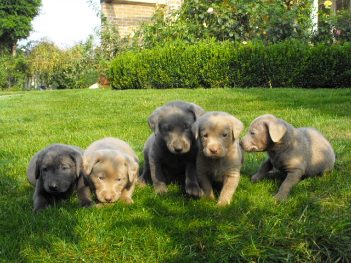 Labrador welpen silver und charcoal